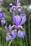 Dewy iris. Flower, shallow DOF Stock Photography