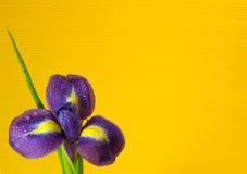 Dewy iris flower Stock Photo