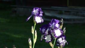 Dewy iris flower stock footage