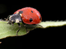 Dewy ladybug on leaf royalty free stock photos