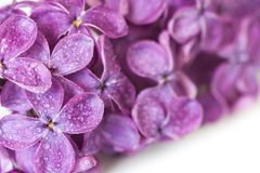 Dewy lilac Royalty Free Stock Images