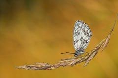 Dewy Marbled White (Melanargia galathea) in  the sun. Royalty Free Stock Image