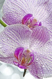 Dewy orchid Stock Photos