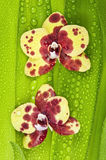 Dewy orchids Royalty Free Stock Photos