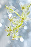 Dewy Ornithogalum  flower Royalty Free Stock Photos