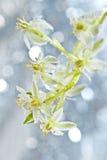 Dewy Ornithogalum  flower Royalty Free Stock Photos