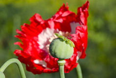 Dewy poppy head and blossom Stock Images
