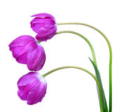 Dewy purple tulips Royalty Free Stock Photos