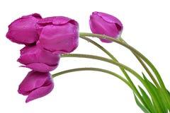 Dewy purple tulips Royalty Free Stock Photography