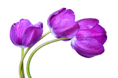 Dewy purple tulips Stock Photography