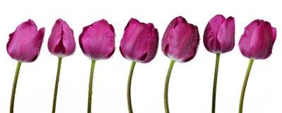 Dewy purple tulips Stock Photo