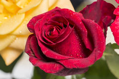 Dewy red rose. With yellow rose behind Stock Images