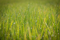 Dewy rice plant. Close-up of early morning dew drops on green and yellowish rice plant Royalty Free Stock Photos