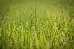Dewy rice plant Royalty Free Stock Photos