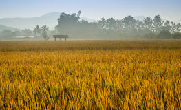 Dewy Rice. Ripe rice ready to be harvested bathes in a heavy morning dew in Northern Thailand Stock Image