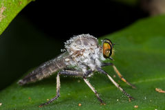 A dewy robber fly on green leaf. Macro shot of a dewy robber fly on green leaf Royalty Free Stock Photo