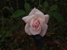 Dewy rosafarbenes Blumen backround lizenzfreies stockfoto