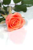 Dewy rose Royalty Free Stock Images