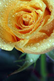 Dewy rose. Postcard with dewy rose Stock Photo