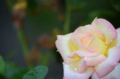 Dewy Rose. Dew covered rose in Alvarado, Texas Stock Images