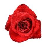 Dewy Rose Stock Image