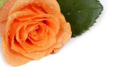 Dewy rose - Write your own text on it! Stock Images
