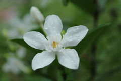 Dewy Sampaguita flower stock images