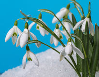 Dewy snowdrops Royalty Free Stock Images
