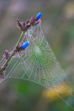 Dewy spider web Stock Image