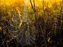 Dewy Spiderweb. Morning dew on spiderweb at sunrise Royalty Free Stock Image