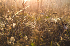 Dewy spiderwed and autumn grass background Royalty Free Stock Images