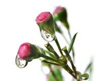 Dewy spring buds Stock Photo