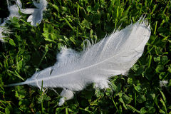 Dewy Swan Feather Royalty Free Stock Image