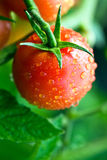 Dewy tomatoes Stock Photography