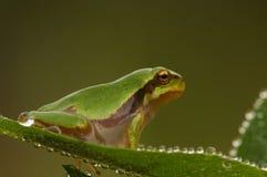 Dewy Tree Frog Royalty Free Stock Photos