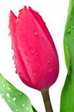 Dewy tulip Stock Images