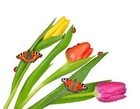 Dewy tulips with butterflies Stock Photos