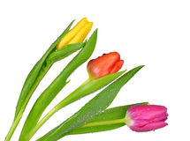 Dewy tulips with green leaf Stock Images