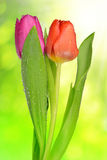 Dewy tulips with green leaf Royalty Free Stock Image