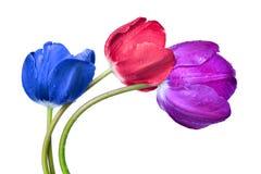 Dewy tulips Royalty Free Stock Photo