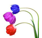 Dewy tulips Royalty Free Stock Images