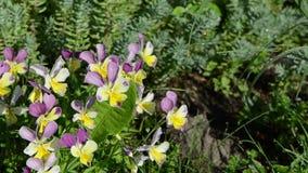 Dewy violet flower garden stock footage