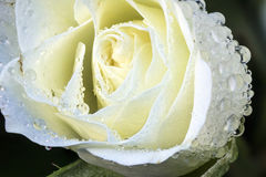 Dewy White Rose Macro Royalty Free Stock Image