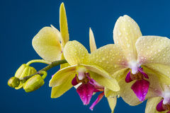 A dewy yellow orchid Stock Photo