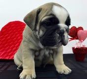Dexter-Baby sechs Wochen lizenzfreies stockfoto