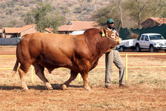 Dexter bull being lead in arena by handler. Stock Image