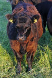 The Dexter Cow. One calve from the rare cattle race Dexter Royalty Free Stock Image