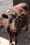 Dexter cow Bos taurus Royalty Free Stock Photography