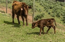 Dexter Cow vermelho, considerou uma raça rara, com a vitela recentemente nascida fotos de stock