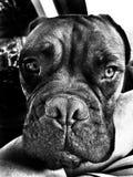 Dexter czarny i biały fotografia royalty free